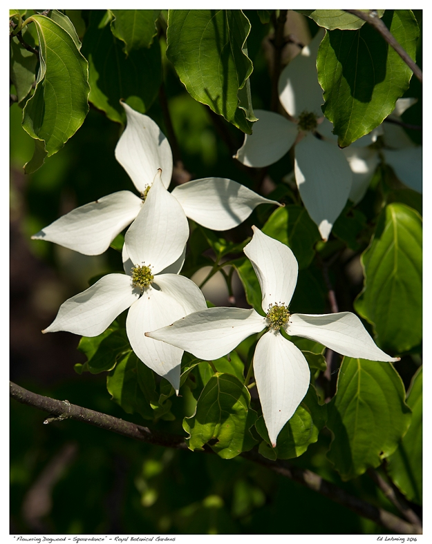 """Flowering Dogwood - Squaredance"" - Royal Botanical Gardens"
