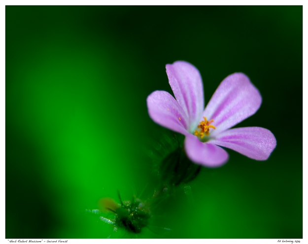 """Herb Robert Blossom"" - Secord Forest"