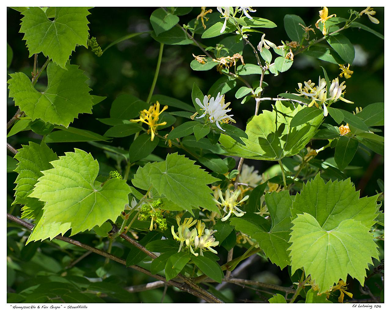 """""""Honeysuckle & Fox Grape"""" - Stouffville"""