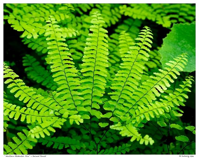 """""""Northern Maidenhair Fern"""" - Secord Forest"""