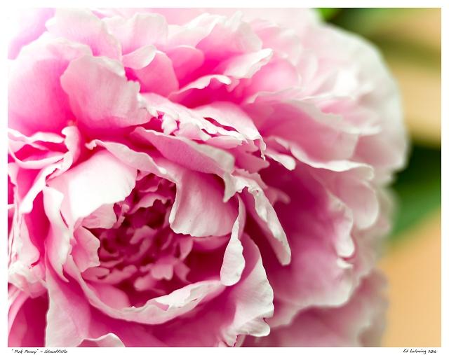 """""""Pink Peony"""" - Stouffville"""