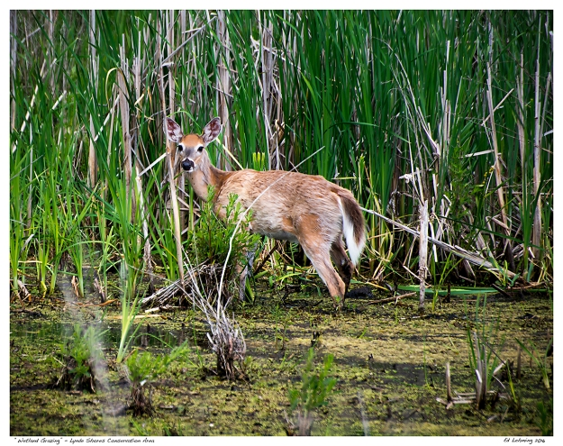 """Wetland Grazing"" - Lynde Shores Conservation Area"
