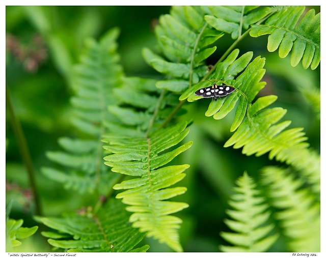 """""""White Spotted Butterfly"""" 0 Secord Forest"""