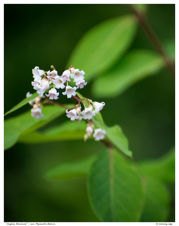 """Dogbane Blossoms"" - near Maynooth, Ontario"