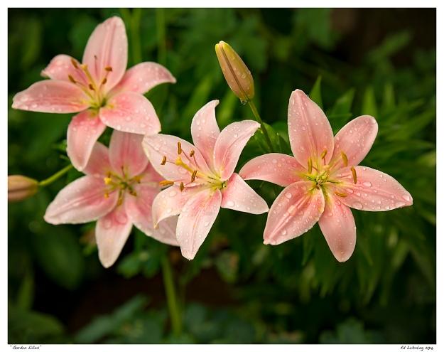"""""""Garden Lilies"""""""