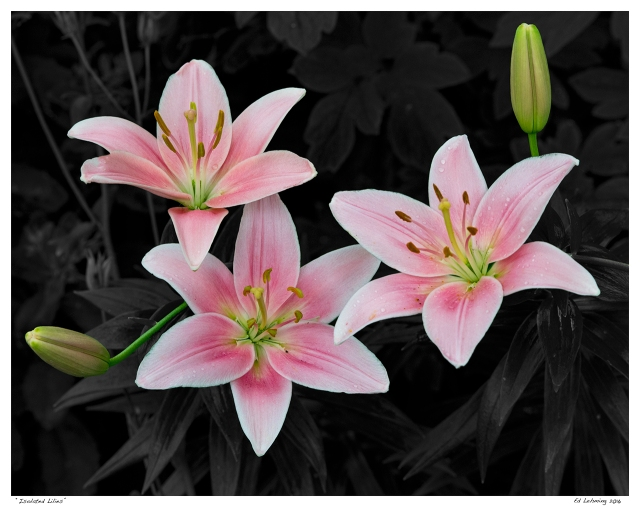 """""""Isolated Lilies"""""""