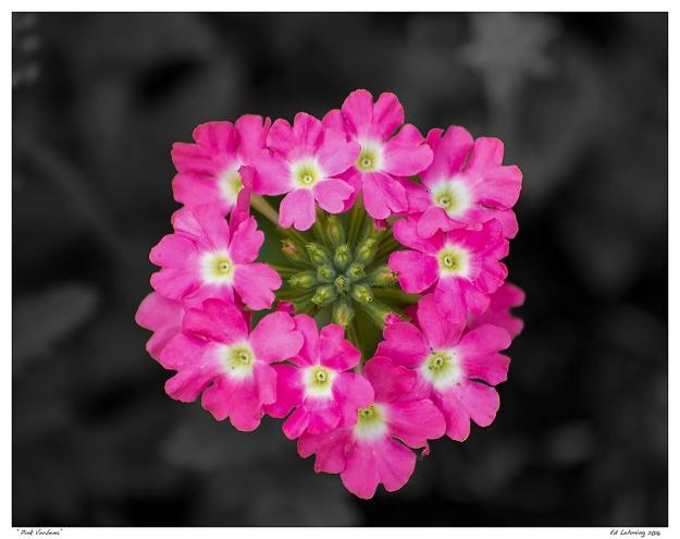 """""""Pink Verbena"""""""