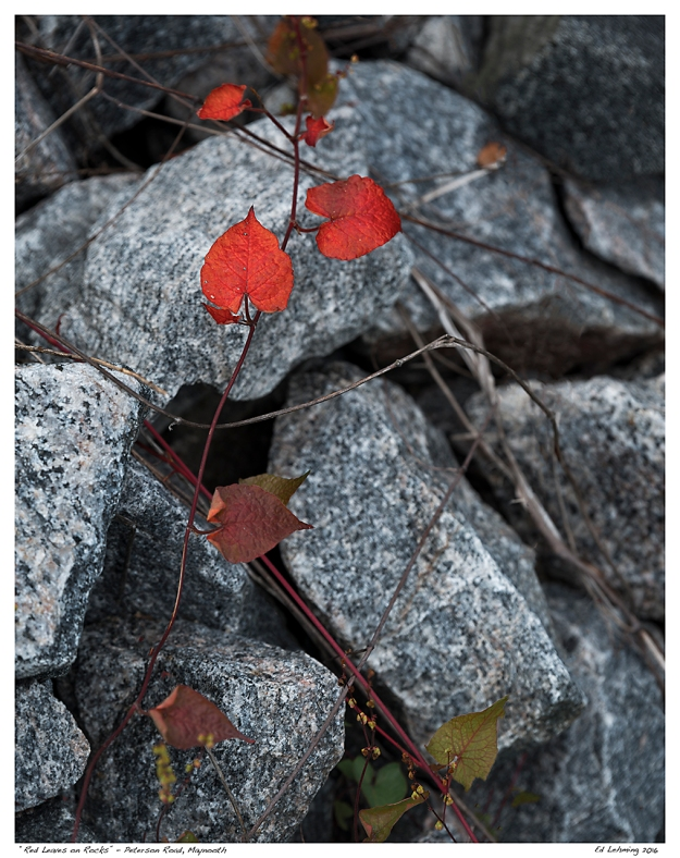 """Red Leaves on Rocks"" - Peterson Road, Maynooth"