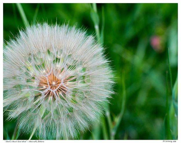 """Goat's Beard Seed Head"" - Bancroft, Ontario"