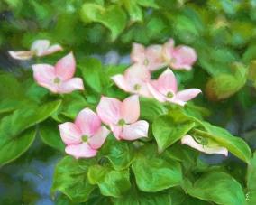 Pink Dogwoods