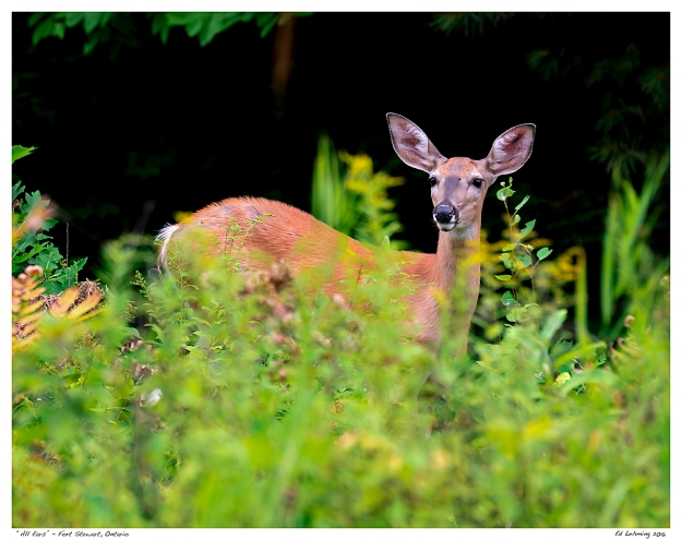 "All Ears"" - Fort Stewart, Ontario"