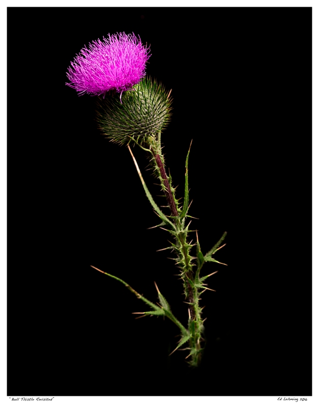 """Bull Thistle Revisited"""