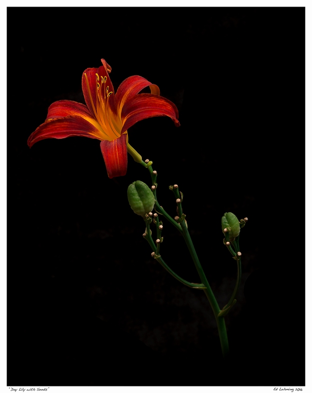"""Day Lily with Seeds"""