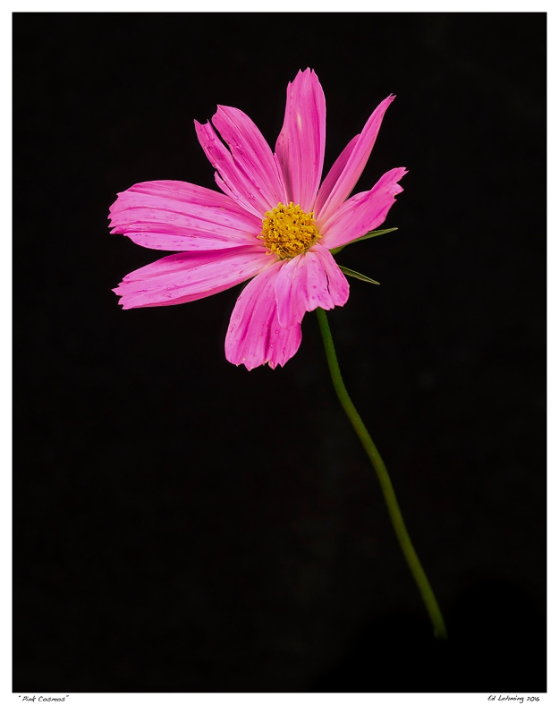 """Pink Cosmos"""