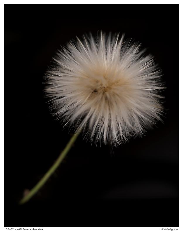 """Puff"" - Wild Lettuce Seed Head"