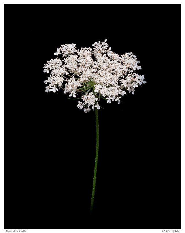 """""""Queen Anne's Lace"""""""