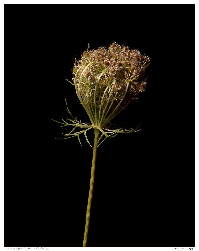 """""""Seeds Galore"""" - Queen Anne's Lace"""