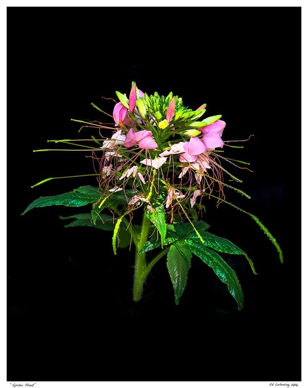 """Spider Plant"""
