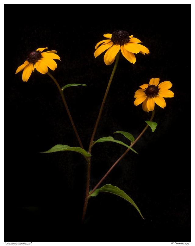 """Woodland Sunflower"""