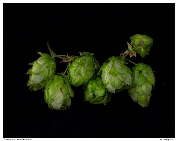 Common Hop - humulus lupulus.jpg
