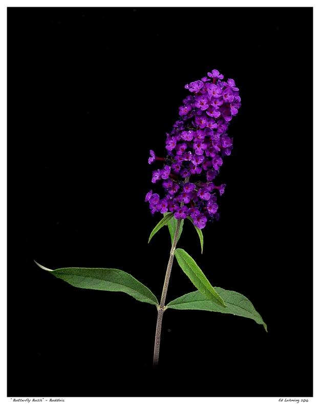 """Butterfly Bush"" - Buddleia"