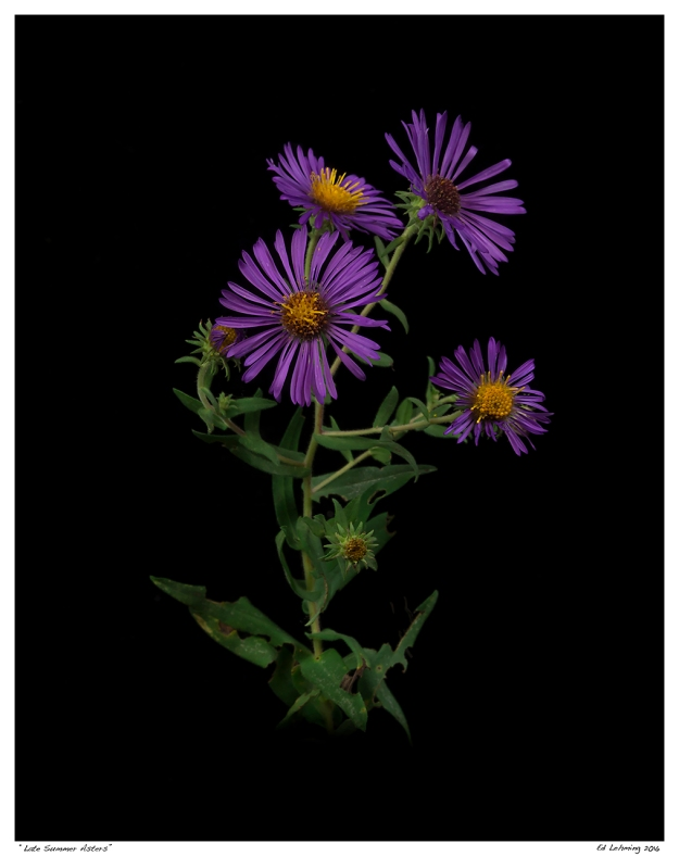 """Late Summer Asters"""