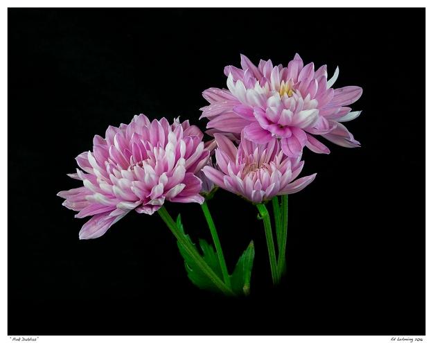 """Pink Dahlias"""