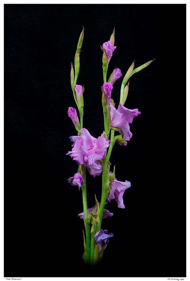 """""""Pink Gladiolus"""""""