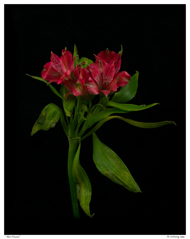 """Red Freesia"""