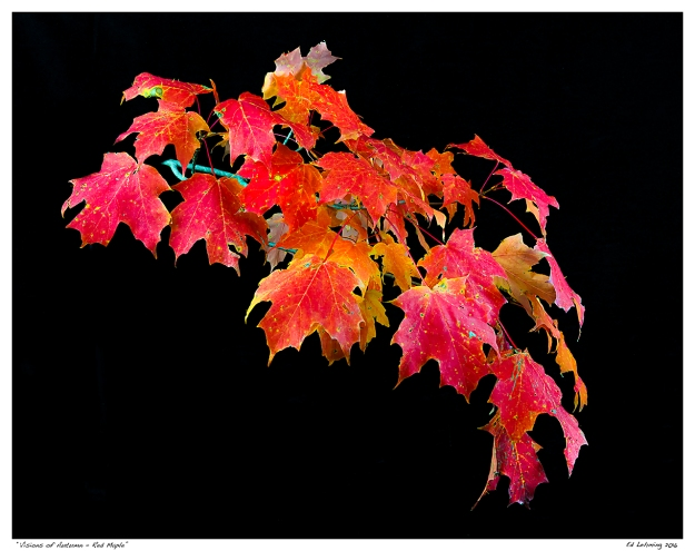 """Visions of Autumn - Red Maple"""