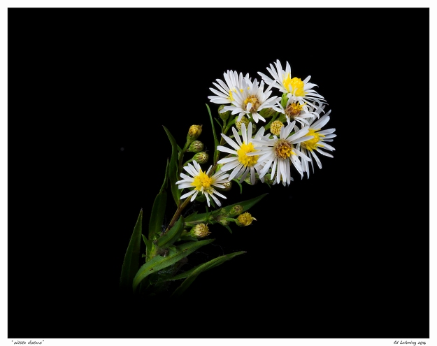 """White Asters"""