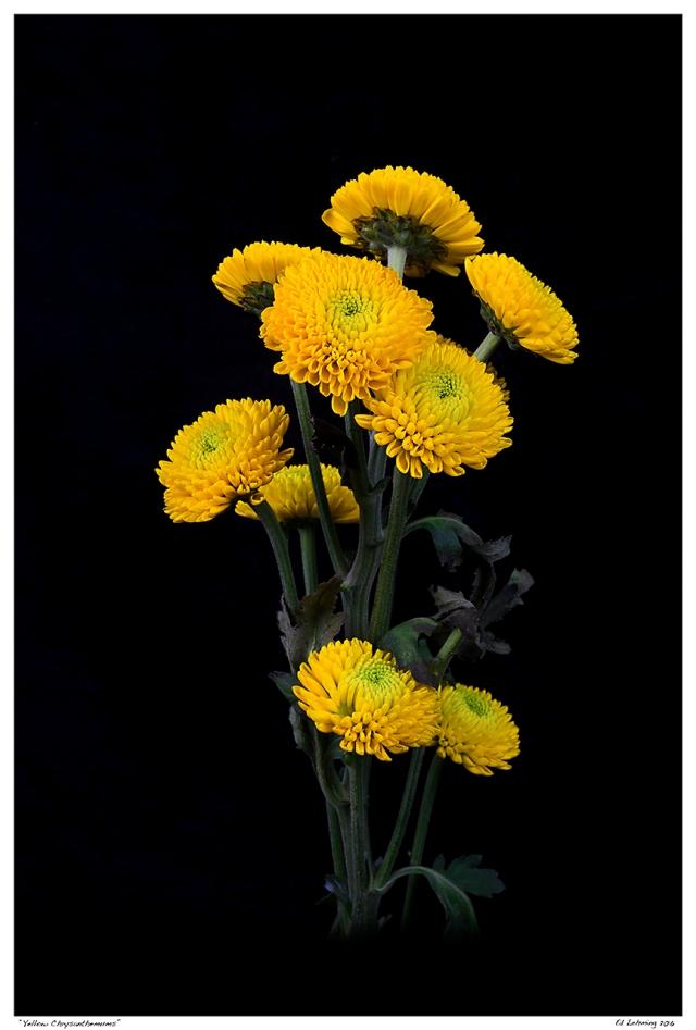 """Yellow Chrysanthemums"""