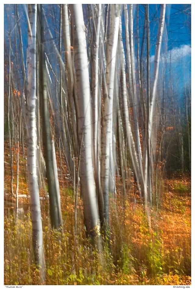 """Trailside Birch"""