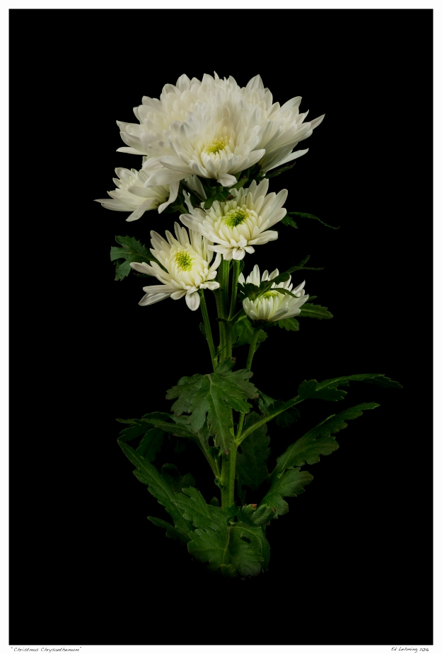 """Christmas Chrysanthemum"""