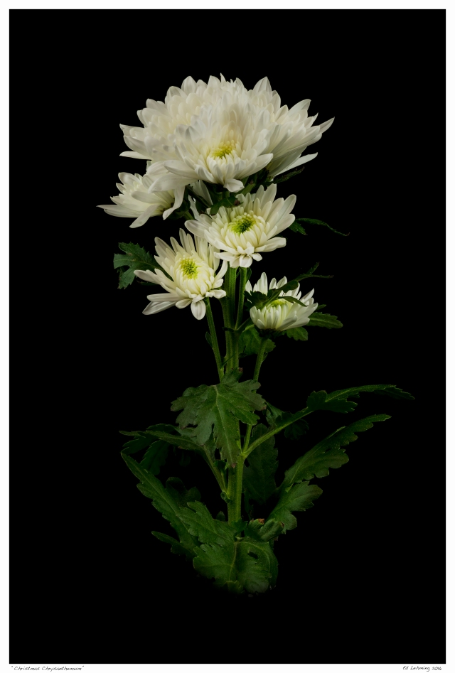 """Christmas Chrysanthemum"""