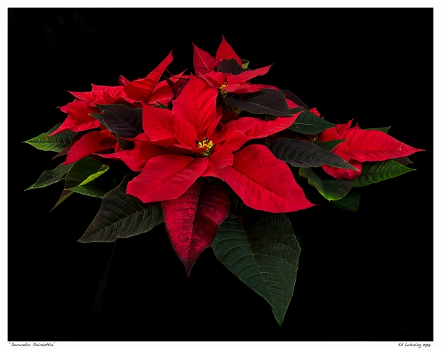 """December Poinsettia"""