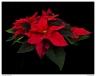 """December Poinsettia"""