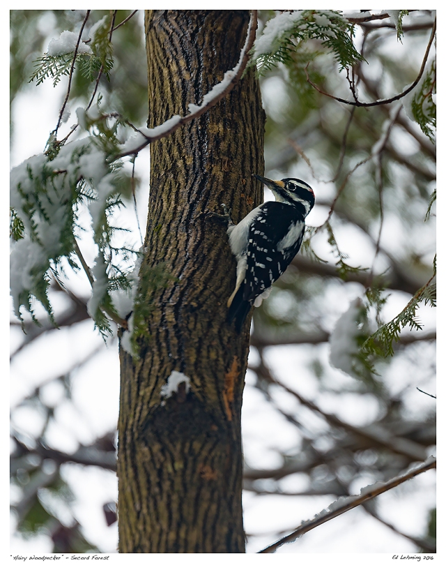 """""""Hairy Woodpecker"""" - Secord Forest"""