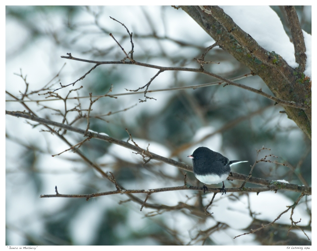 """Junco in Mulberry"""