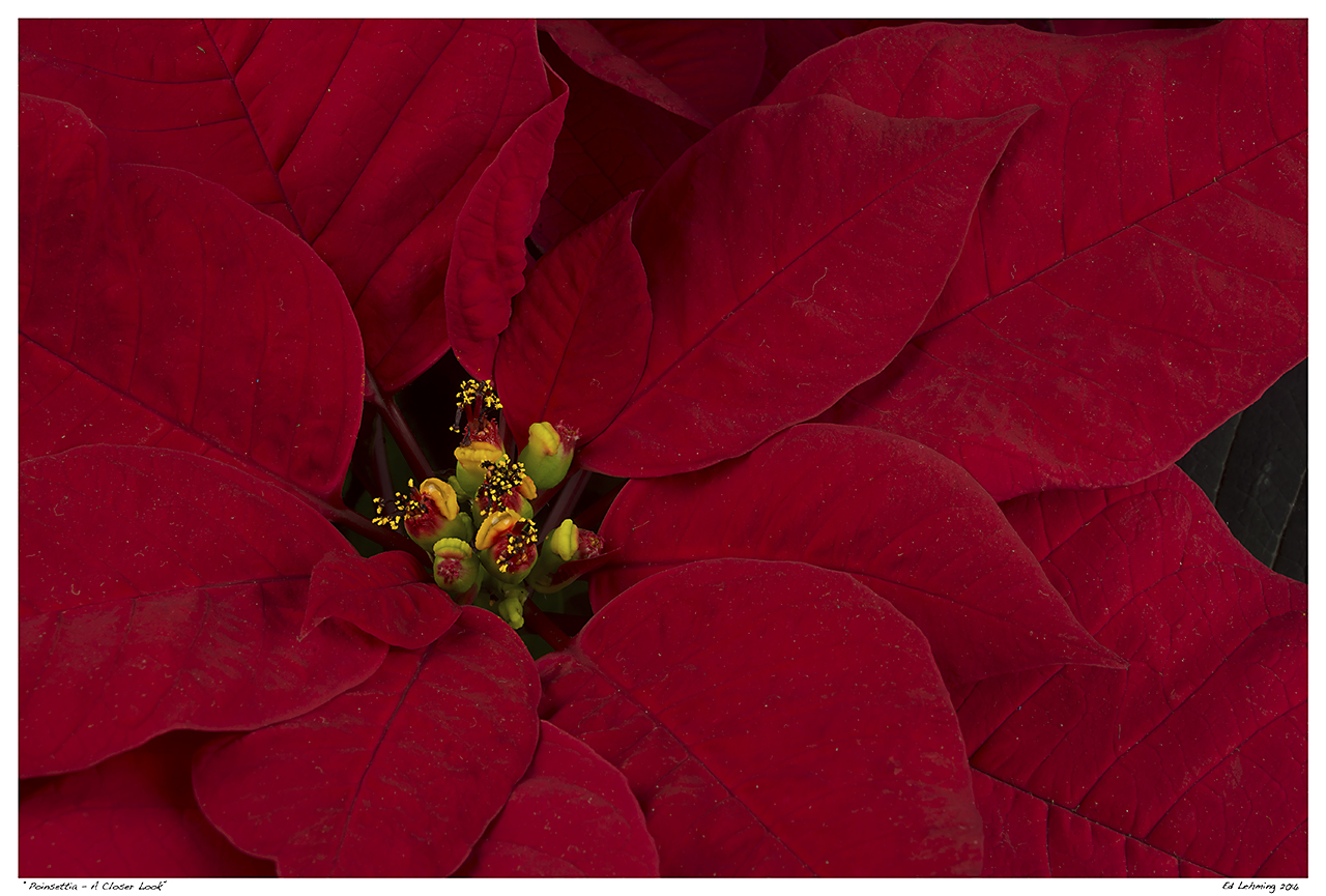 """Poinsettia - A Closer Look"""