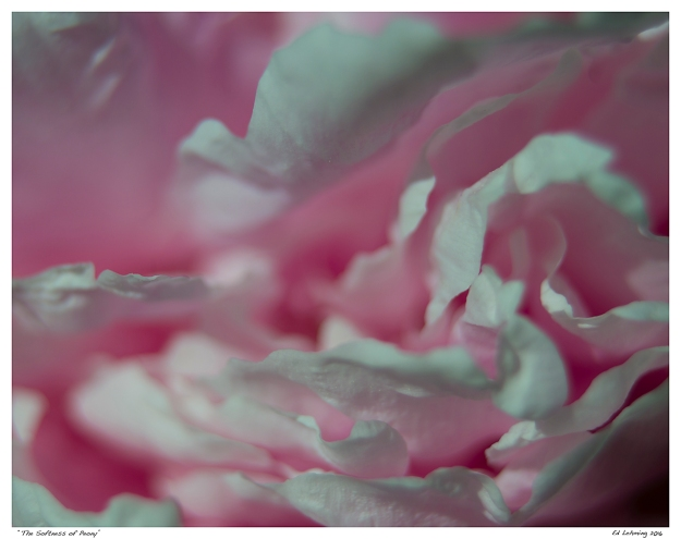 """The Softness of Peony"""