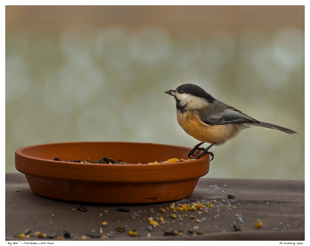 """Big Bite"" - Chickadee with Seed"