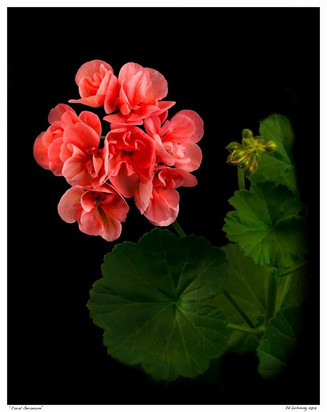 """""""Coral Geranium"""""""