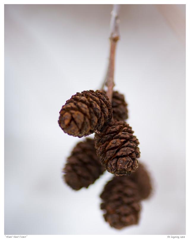 """Hazel Seed Cones"""