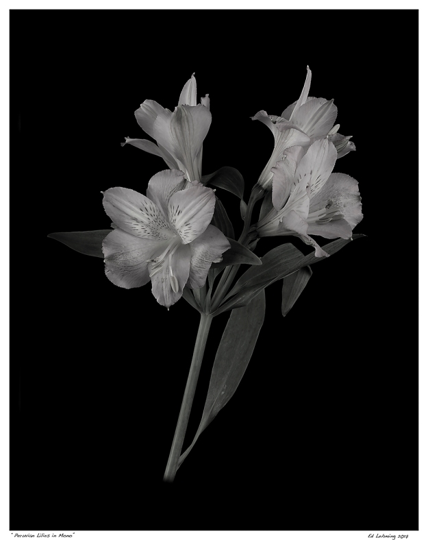 """Peruvian Lilies in Mono"""