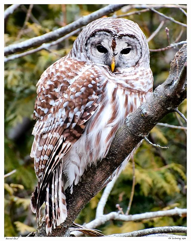 barred-owl-ii