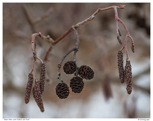 """Hazel Alder with Catkins and Fruit"""