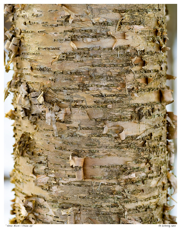 """Silver Birch - Close Up"""