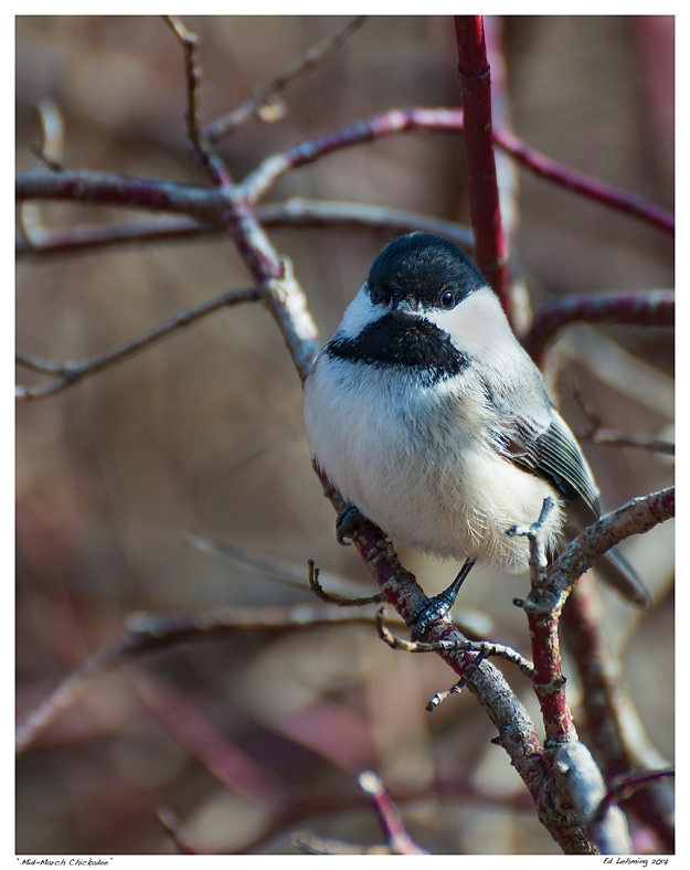 """Mid-March Chickadee"""