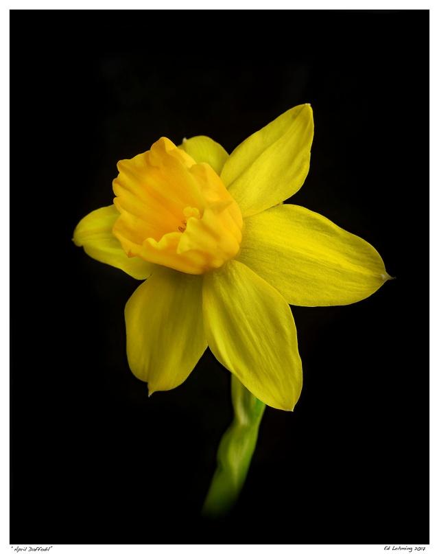 """""""April Daffodil"""""""